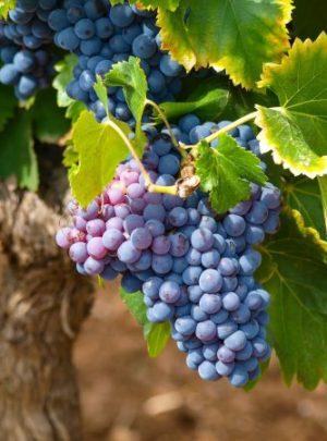 Visit French Vineyards